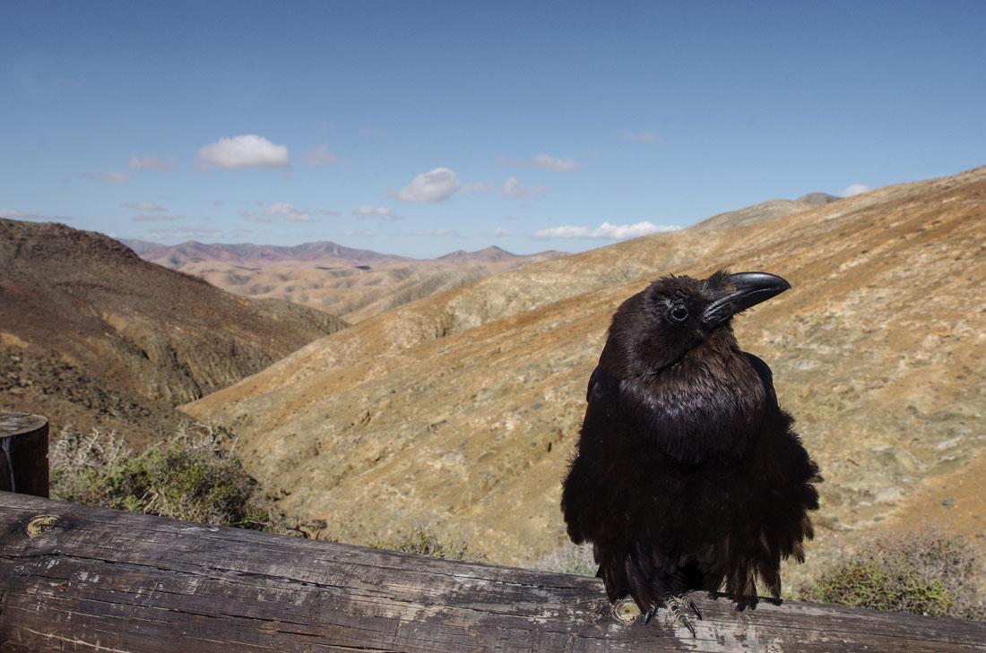 Kruk na tle pustynnych gór -  Fuerteventura