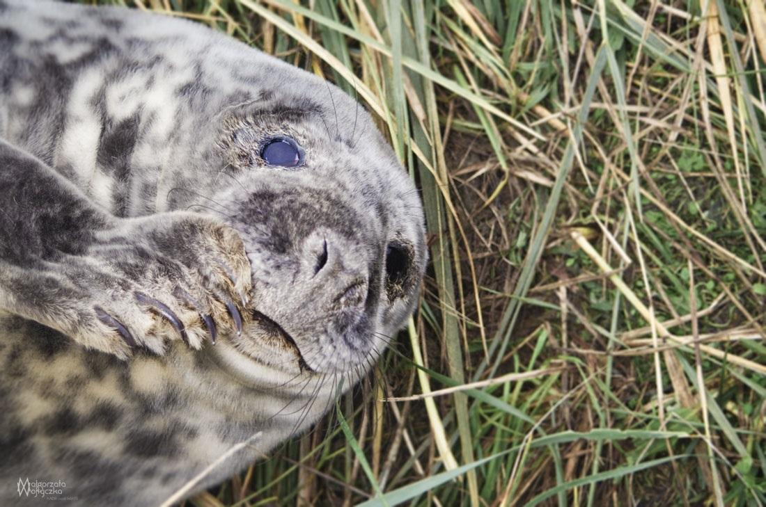 Młoda foka w rezerwacie Donna Nook w Anglii