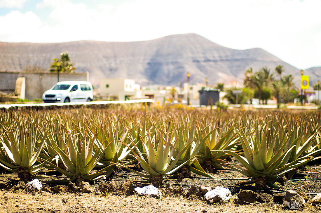 Fuerteventura - farma aloesu w La Olivia