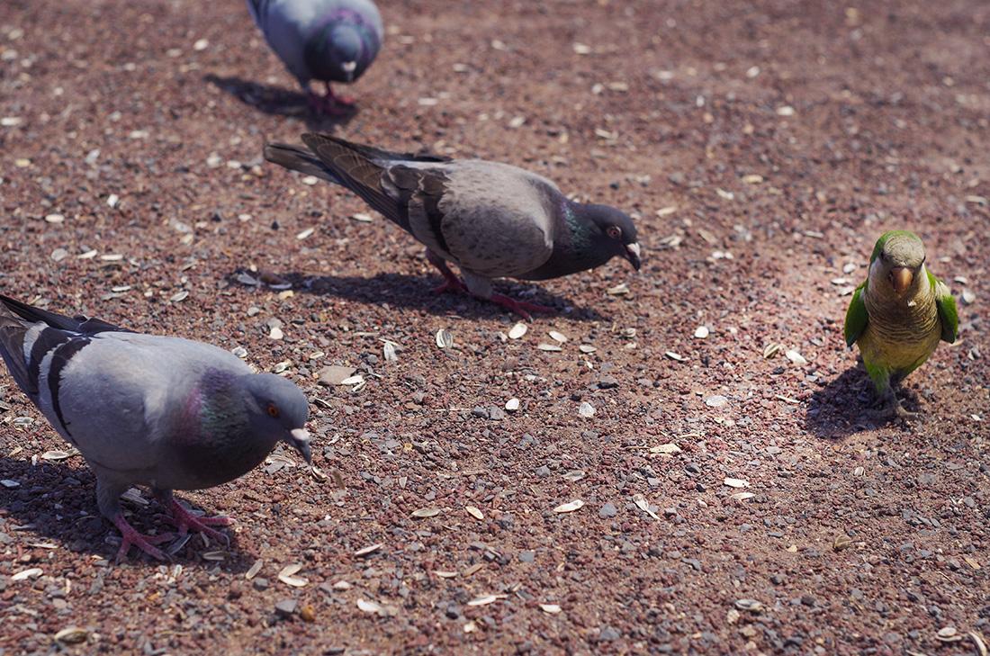gołębie kłaniające się papudze - Fuerteventura