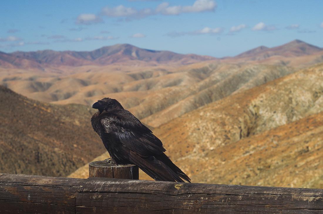 Kruk w Montana Cardon
